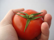 Hand holding red tomato Stock Images