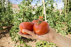 Hand holding red tomatoes Royalty Free Stock Image