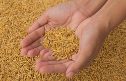 Hand holding rice. For sale Stock Photography