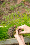 Hand holding rice seedlings Royalty Free Stock Photography