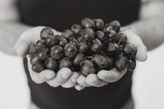 Hand holding ripe grapes. Black and white Royalty Free Stock Image