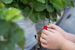 Hand holding ripe red strawberry. Boy hand holding ripe red strawberry fruit on plant pot in the background. Self picking farm field in winter stock photos