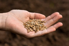 Hand holding ripe rye grain Royalty Free Stock Image
