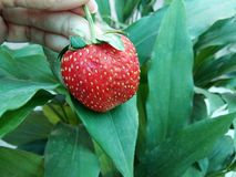 Hand holding ripe strawberry fruit stock photo