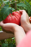 Hand Holding RipeTomatoe. Woman's holding a ripe red tomatoe from garden royalty free stock images