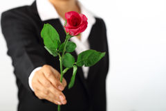 Hand holding a rose flower on white Stock Images