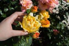 Hand holding rose in in spring garden stock image