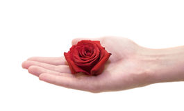 Hand holding rosebud Royalty Free Stock Photography