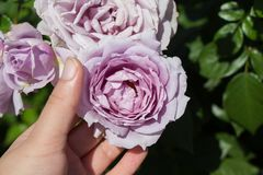 Hand holding  roses in a rose  garden. Hand holding some roses in the rose  garden Royalty Free Stock Photos