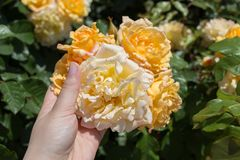Hand holding  roses in a rose  garden. Hand holding some roses in the rose  garden Stock Images