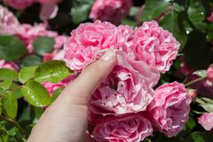 Hand holding  roses in a rose  garden. Hand holding some roses in the rose  garden Royalty Free Stock Photography
