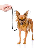 Hand holding a Russian toy terrier puppy on a leash. isolated Royalty Free Stock Images
