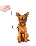 Hand holding a Russian toy terrier puppy on a leash.  Stock Photography