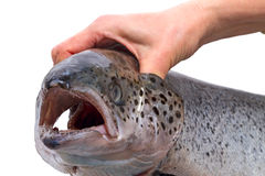 Hand holding salmon by the gills Stock Photo
