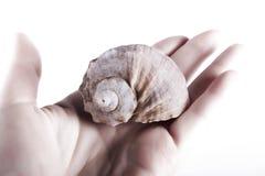 Hand holding sea shell. Isolated on white background, studio shot Royalty Free Stock Images
