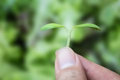 Hand holding seed plant on green background. Hand holding seed plant on a green background Stock Photography