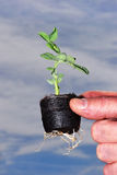 Hand holding seedling. A closeup view of a hand holding a tiny seedling with roots protruding underneath, ready for transplanting Royalty Free Stock Photo