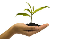 Hand holding seedling Royalty Free Stock Image