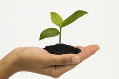 Hand holding seedling Stock Photo