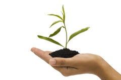 Hand holding seedling Royalty Free Stock Image
