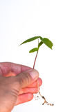 Hand holding a seedling Stock Photography