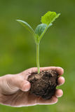 Hand holding seedling of marrow ready to planting Stock Photo