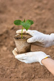 Hand holding seedlings of cucumber Royalty Free Stock Photography