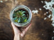 Hand holding a sempervivum succulent that is growing in a glass. Jar royalty free stock photo