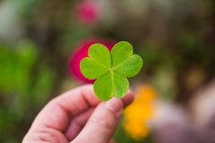 Hand holding a shamrock  clover Stock Images