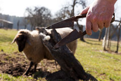 Hand holding sheep shears, sheep in the background Royalty Free Stock Image