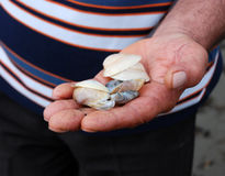 Hand holding shells Royalty Free Stock Photography