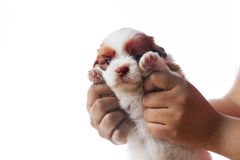 Hand holding shih tzu puppy dog isolated whie background use fo. R lovely and cute pets and adorable animals theme stock photography