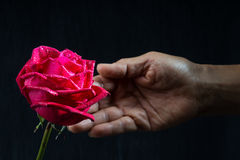 Hand holding single romantic red rose black background. Single romantic red rose, symbolic for love, on black background a gift for loved one on Valentines or Royalty Free Stock Image