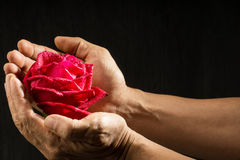 Hand holding single romantic red rose black background. Single romantic red rose, symbolic for love, on black background a gift for loved one on Valentines or Stock Image