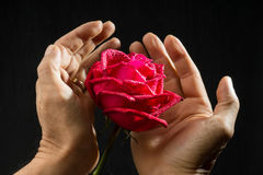 Hand holding single romantic red rose black background. Single romantic red rose, symbolic for love care, on black background a gift for loved one on Valentines Stock Image