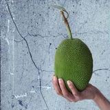 Hand holding small jack fruit royalty free stock images