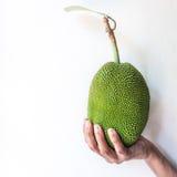 Hand holding small jack fruit royalty free stock photo