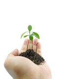Hand holding a small plant. Human hand holding a small plant on white background royalty free stock photo