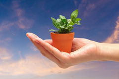 Hand holding a small plant with nature sky background. Royalty Free Stock Image