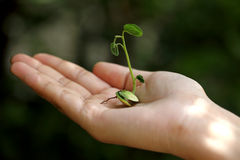 Hand holding small plant Royalty Free Stock Photography