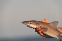 Hand holding a small shark. Closeup of a hand tightly holding a small (baby) shark with open mouth, pale gray background royalty free stock photos