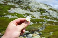 Hand holding small white flower. royalty free stock photography