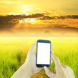 Hand holding smart phone green paddy rice in field and sky sunrise Stock Photo