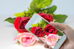 Hand holding smart phone at Roses Red to pink. Roses Red to pink Background Royalty Free Stock Image