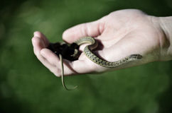 Hand Holding Snake Royalty Free Stock Photo