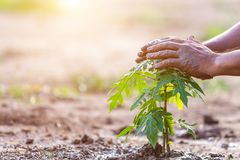 Hand holding soil and planting young papaya tree into soil. Save stock photos