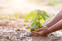 Hand holding soil and planting young papaya tree into soil. Save royalty free stock photography