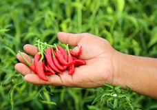 Hand holding some red chili peppers. In a vegetable garden Stock Images