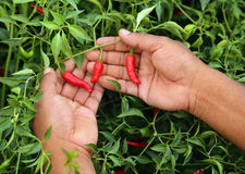 Hand holding some red chili peppers. In vegetable garden stock photography