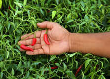 Hand holding some red chili peppers. In vegetable garden Royalty Free Stock Photo
